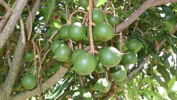 công dụng hạt macca, hạt macca có tác dụng gì, Hạt Macca là gì mà giá siêu đắt? Tác dụng của hạt Macadamia